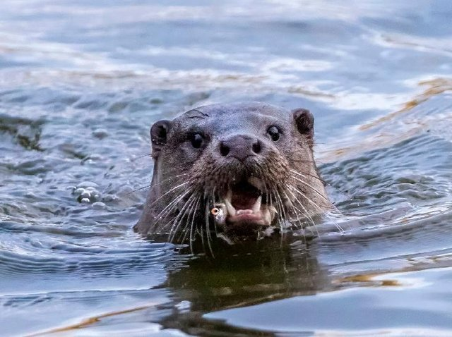 An otter has been spotted in the waters of one of Abington Park's lakes.