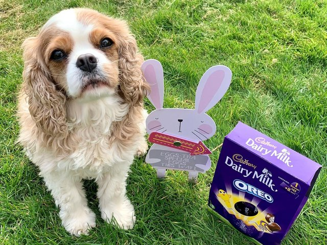 Pet pooch, Hammerton, a five year old Cavalier King Charles, will be safely shut away in his crate during the family Easter egg hunt