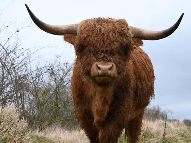 Highland Cows in Twywell