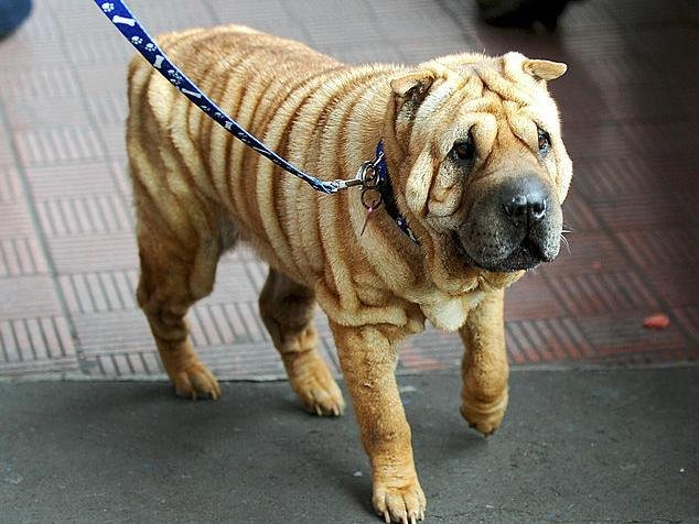 Shar Peis like this one are traditionally fighting dogs but much-loved for their wrinkly skin. Getty Images stock photo