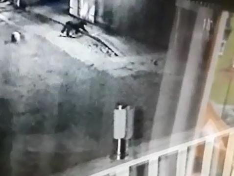 Security lights pick up the mysterious animal wandering around