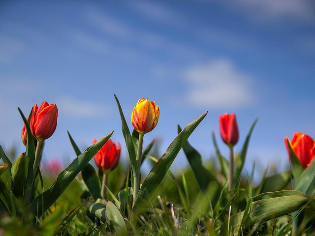 Pick your own tulips at Overstone Grange Farm on the A43 Kettering Road outside Northampton. Photo: Kirsty Edmonds