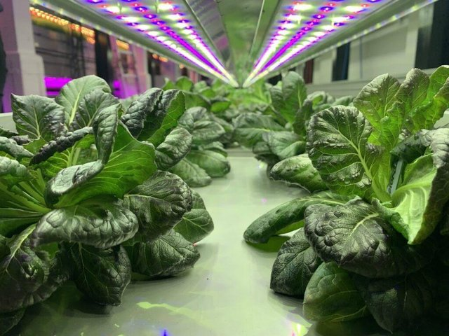 Syan Farms grows lettuce on futuristic indoor shelves under LED lights with no soil or pesticides, said to be 'beyond organic'