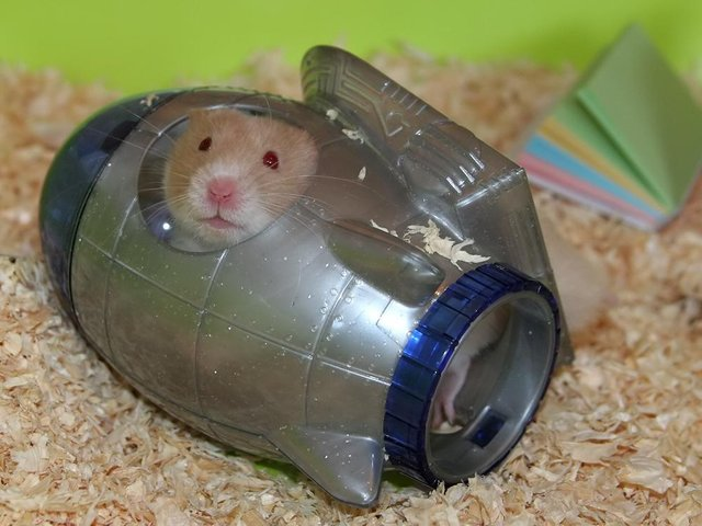 A hamster - file picture
