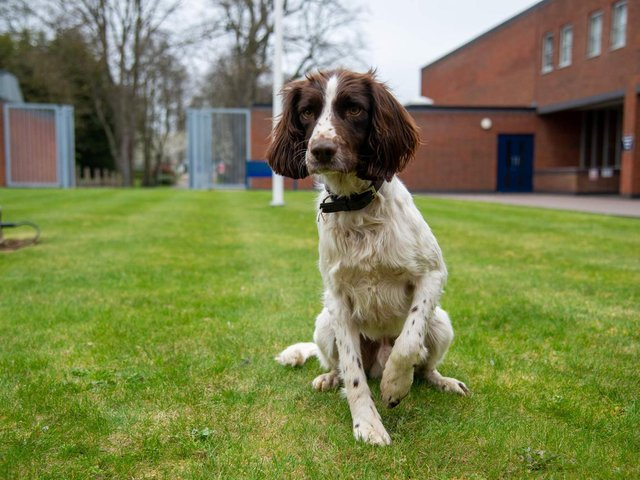 Two-year-old Springer Spaniel, Alfie, has joined the team as a victim recovery dog.