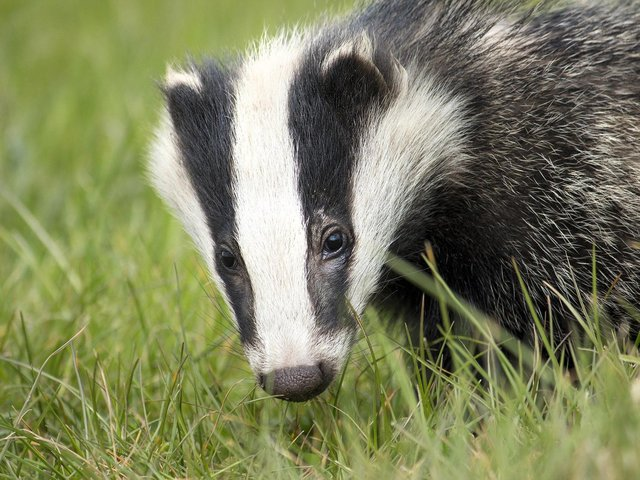 Badgers are thought to have returned to the housing development on Lancaster Way, Northampton