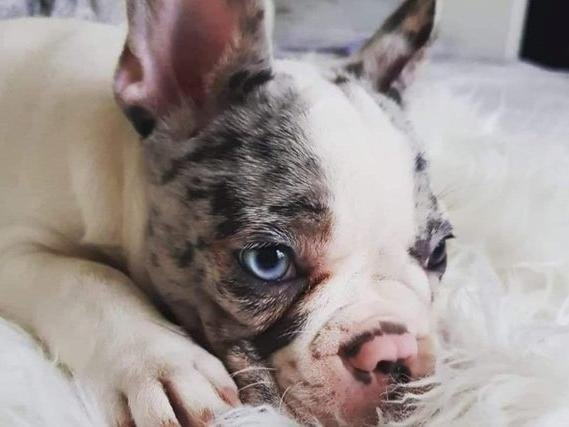 Winter, the French bulldog puppy.