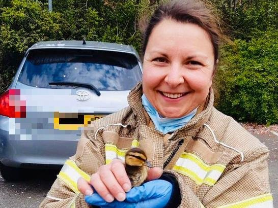 The rescued duckling gets a non-regulation firefighter's carry on his way to safety