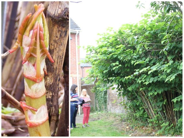 Watch out for asparagus-like shoots in your garden — because it's Japanese knotweed and could wind up 3m tall
