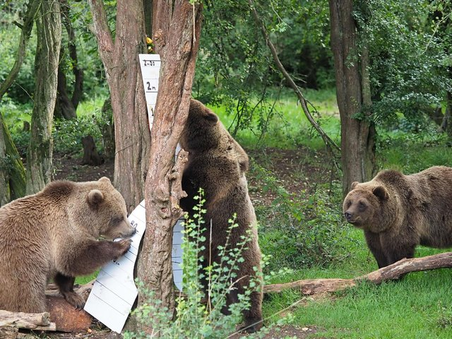 Brown Bears at Whipsnade Zoo    (Archive Image/Whipsnade Zoo)