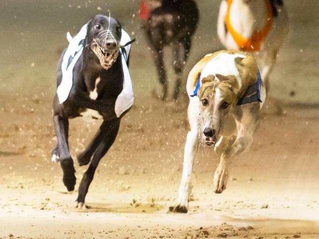 Greyhound racing at Towcester Racecourse. Picture: Towcester Racecourse