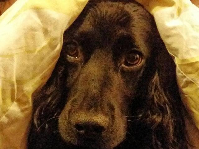 Pet pooch, Lenny, under the duvet.